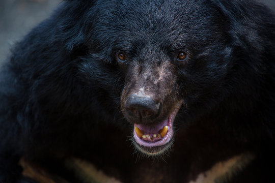 Closeup to face of an adult Formosa Black Bear in the forest at a day hot summer