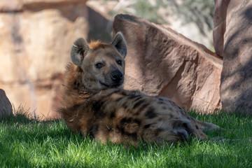 Keuken foto achterwand Hyena VALENCIA, SPAIN - FEBRUARY 26 : Watchful Hyena at the Bioparc in Valencia Spain on February 26, 2019