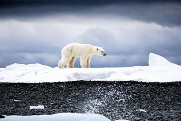 Poster Ijsbeer Walking Polar Bear