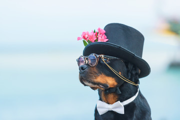Black dog of breed a Rottweiler. Dog in a black hat and glasses on the background of the sea. Hat decorated with pink flowers. Pet. Wall mural