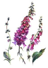 Obraz Watercolor Foxglove Composition - fototapety do salonu