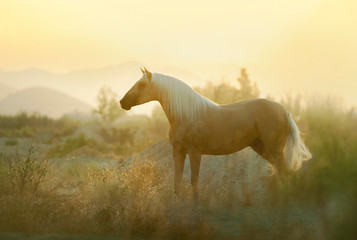 The palomino andalusian horse posing in sunrise spanish preries