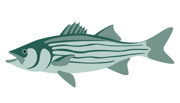 striped bass, vector illustration ,flat style