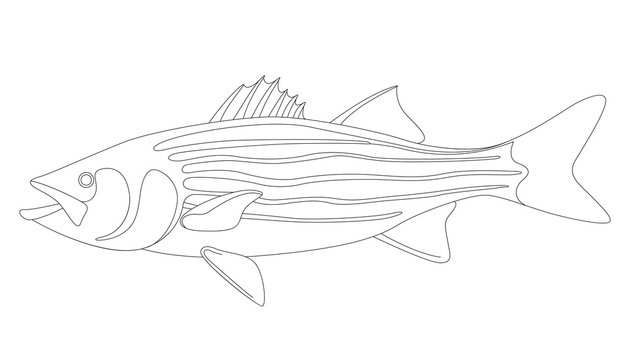 striped bass, vector illustration ,lining draw
