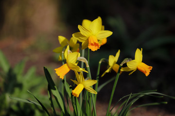 Close-up of yellow narcissus flower in the spring garden