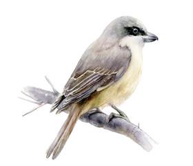 Lanius bird watercolor hand drawn illustration. Isolated on white.