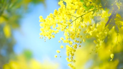 Klistermärke - Mimosa. Mimosa Spring Flowers Easter background. Blooming mimosa tree over blue sky and sun. Easter backdrop. Nature. Ultra HD 4K video footage