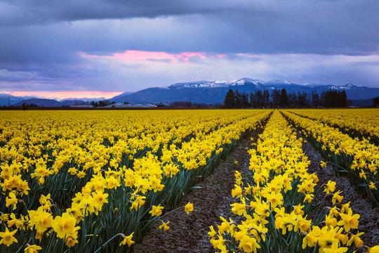 daffodils in a field, skagit valley, washington state