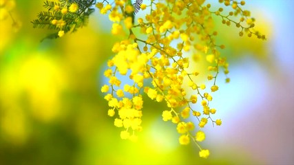 Wall Mural - Mimosa. Spring flowers Easter background. Blooming mimosa tree over blue sky. 4K UHD video footage. 3840X2160