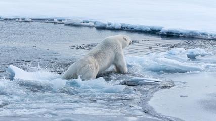 Printed roller blinds Polar bear Polar bear falling through thin ice into the ocean