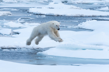 Poster Ijsbeer POlar Bear jumping a gap in the sea ice