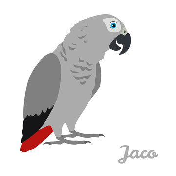 Jaco parrot isolated on white background. Vector illustration of cute bird in cartoon simple flat style.