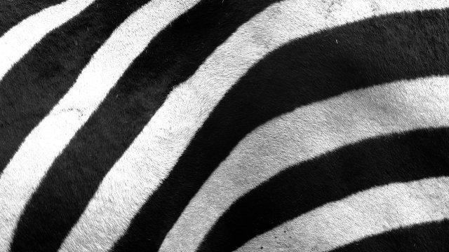 Close up of zebra stripes