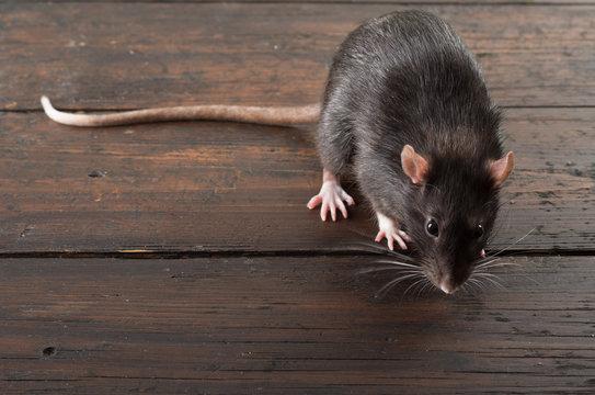 rat close-up