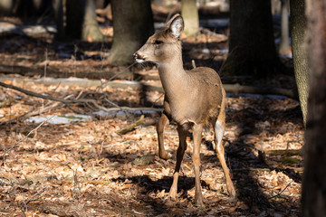 Fototapete - White-tailed deer (Odocoileus virginianus) also knows as Virginia deer - Hind in winter forest.Wild nature scene from Wisconsin