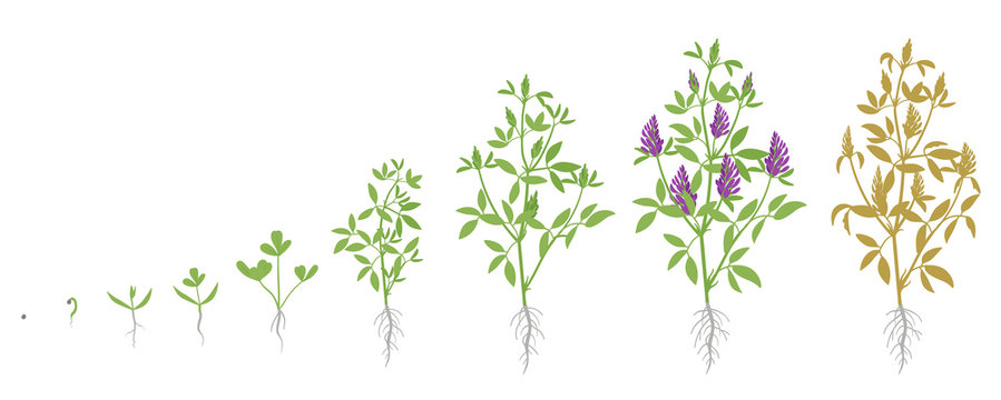 Growth stages of Alfalfa plant. Vector flat illustration. Medicago sativa. Lucerne grown life cycle.