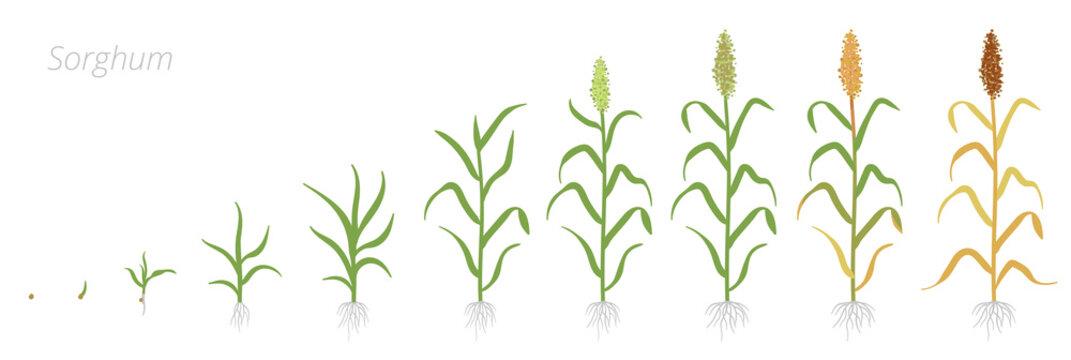 Crop stages of Sorghum. Growing Sorghum plant. Harvest growth grain. Sorghum bicolor. Vector flat Illustration.