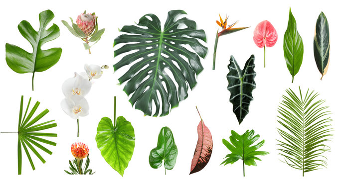 Tropical monstera leaf isolated on white