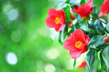 ツバキ 赤い花