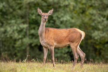 Photo sur Aluminium Cerf Summer nature scenery of curious wild red deer, cervus elaphus, hind standing on a meadow in forest. Alerted animal from european nature.