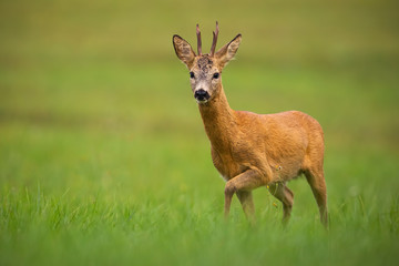 Photo sur Plexiglas Roe Roe deer, capreolus capreolus, buck in summer. Wild animal with space around approaching. Wildlife scenery of mammal walking on a meadow with flowers.