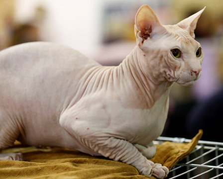 A Don Sphynx cat looks on during the international pets and zoo industry exhibition Pet Expo 2019 in Riga