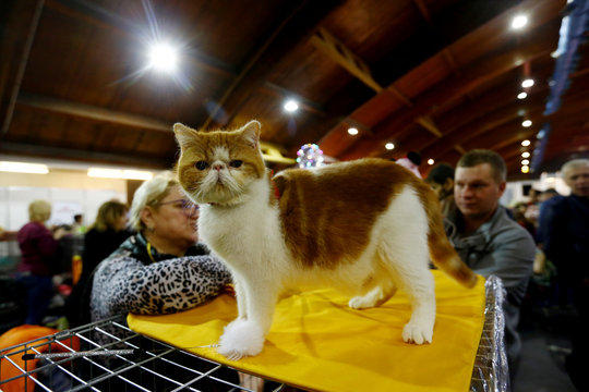 An Exotic Shorthair cat looks on during the international pets and zoo industry exhibition Pet Expo 2019 in Riga