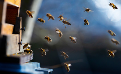 Photo sur Aluminium Bee bee hive - bee breeding (Apis mellifera) close up