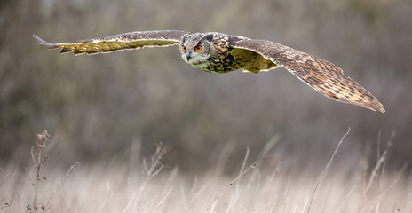 Zelfklevend Fotobehang Uil Eurasian Eagle Owl (Bubo bubo) in natural environment