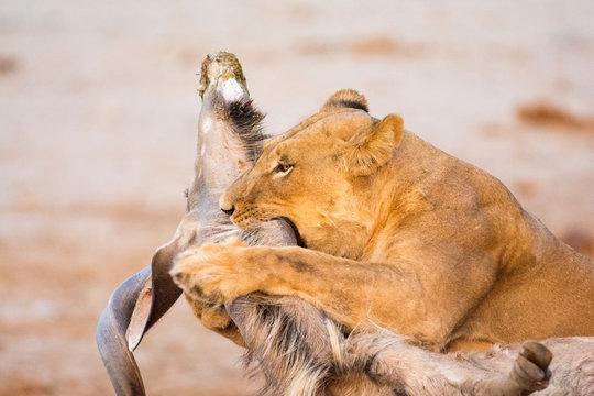 Female lion with a Kudu kill in the morning light in Savuti, Chobe, Botswana, Africa.