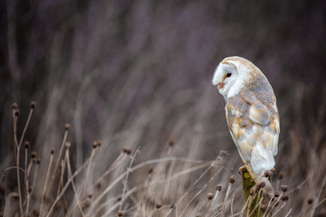 European Barn Owl (Tyto Alba) in completely natural habitat Fototapete
