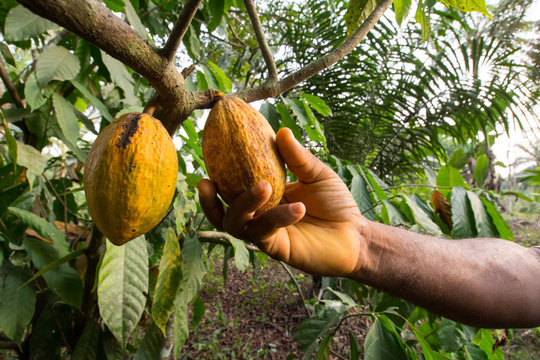 A man's hand reaps a ripe cocoa in Kumba, Cameroon, Africa.