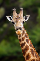 The south african giraffe (Giraffa camelopardalis giraffa) portrait of a male with battered antlers as a result of a fight. Portrait of the big male.