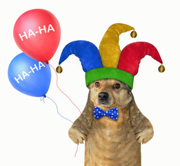 The funny dog in a jester hat holds two color balloons. April fools day. White background. Isolated.