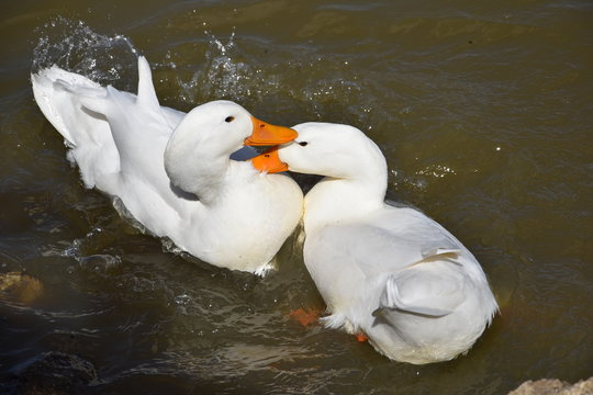 two duck in the water