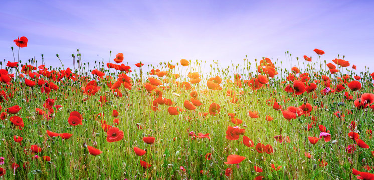 Red poppies in the field under the rays of the sun_