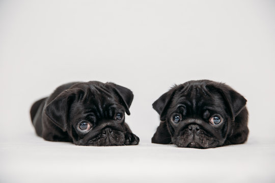 Adorable pug puppies