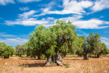Photo sur Aluminium Oliviers Olive grove with sunny skies and clouds in the Salento countryside, in Apulia Italy