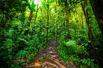 Roots and luxuriant vegetation in Basse Terre jungle in Guadeloupe Wall mural