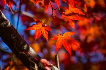紅葉するカエデ