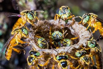 bee Tetragonisca angustula colony macro photo -  Bee Jatai / Tetragonisca angustula