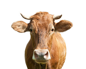 Photo sur Aluminium Vache brown cow, isolated on white background