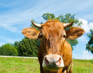 Fototapete - Curious brown cow on a field in sunny summer day