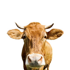 Fototapete - brown cow, isolated on white background