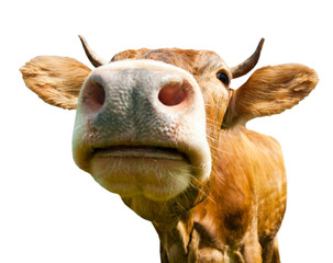 Brown cow, isolated on white background