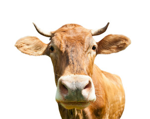 Fototapete - Curious brown cow (close-up), isolated on white background