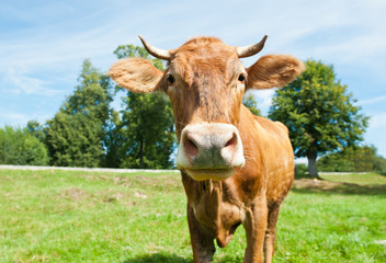 Wall Mural - Curious brown cow on a field in sunny summer day
