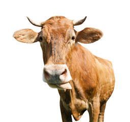 Fototapete - A cow puts out its tongue, isolated on white background