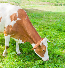 Fototapete - Brown with white cow grazing on the meadow in sunny day
