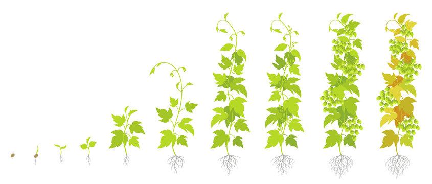 Crop stages of hop plant. Growing hop cones. Planting lupulus humulus. Vector flat Illustration. Main flavor ingredient in beer.